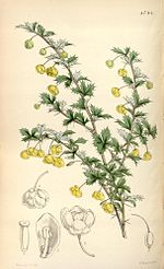 Berberis concinna (drawing in colour).jpg
