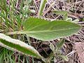 Besseya wyomingensis (3524782759).jpg