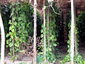 Betel - Betel Plant cultivation in Bangladesh