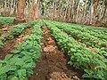 Betel crop.jpg