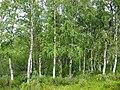 Betula pendula Finland.jpg
