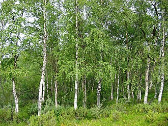 Neva River - Birch forest.
