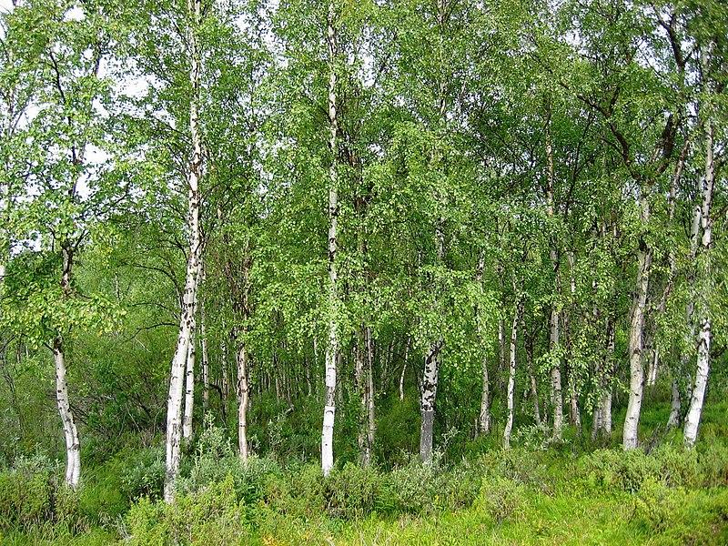 Файл:Betula pendula Finland.jpg