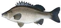 Bidyanus bidyanus as depicted by Fishing and Aquaculture, Department of Primary Industries, New South Wales.jpg