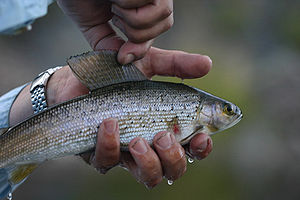 Montana Arctic grayling - Fluvial Arctic grayling from Big Hole River