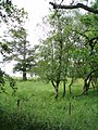 Birch woodland - geograph.org.uk - 479542.jpg