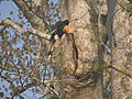 Bird Great Hornbill Buceros bicornis at nest DSCN9018 05.jpg
