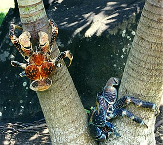 Coconut crab - Coconut crabs vary in size and coloring.