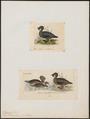 Biziura lobata - 1700-1880 - Print - Iconographia Zoologica - Special Collections University of Amsterdam - UBA01 IZ17700157.tif