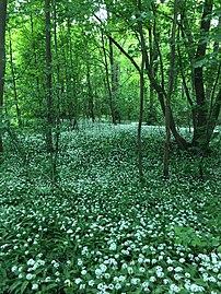 Blühender Bärlauch unter neuem Baumgrün.jpg