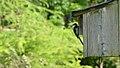 Black-capped Chickadee (Poecile atricapillus) - Guelph, Ontario.jpg