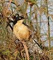 Black-capped Mocking Thrush (Donacobius atricapilla) (28577598056).jpg