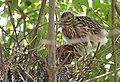 Black-crowned Night-Heron young (48432231497).jpg