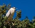 Black-crowned Night Heron (35324338705).jpg