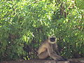 Black-footed Gray Langur at Gajendragad.jpg