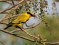 Black-naped Oriole eyeing on Lannea coromandelica fruits W IMG 7458.jpg
