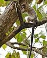 Black-tailed Marmoset (Callithrix melanura) (31653560622).jpg