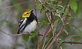 Black-throated Green Warbler 3.jpg