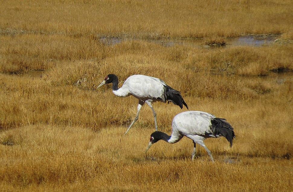 Black Necked Cranes(Grus Nigricollis) pair at Tsokar,Ladakh