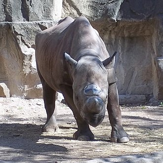 Lincoln Park Zoo - Black rhinoceros at Lincoln Park Zoo