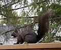 Black Squirrel 0729 (4552020608).jpg
