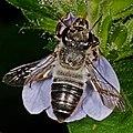 Black bee on flower (38258538542).jpg