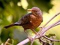Blackbird (20685356198).jpg