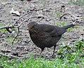 Blackbird (f) (27933298756).jpg