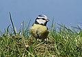 Blaumeise (Cyanistes caeruleus) am Schwanenteich in Waldenburg.2H1A9484WI.jpg