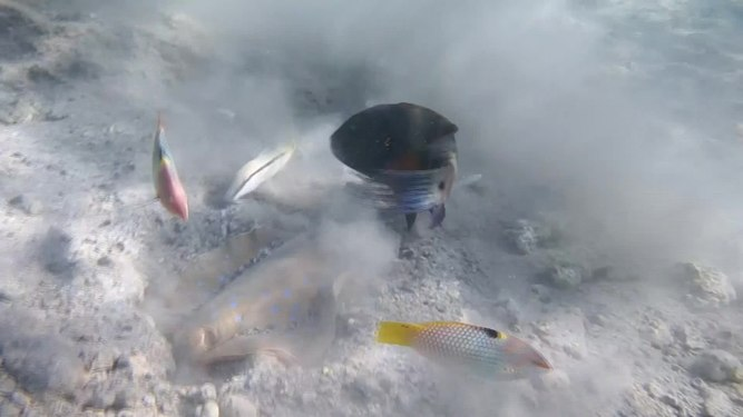File:Blaupunktrochen.Blue-spotted stingray. Скат- хвостокол ДОБЫТЧИК! DSCF1864.webm