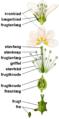 Blomstensdele.png