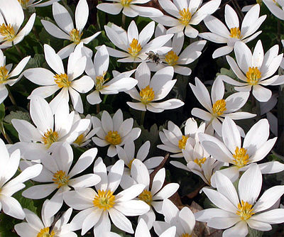 Bloodroot (Sanguinaria canadensis) group.jpg