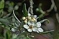 Blossom (33672757871).jpg