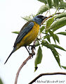 Blue-and-yellow Tanager (459408529).jpg