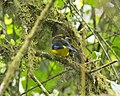 Blue-winged Mountain-tanager (Anisognathus somptuosus) (20716973531).jpg