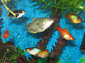Blue Gourami with Platies.jpg