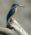Blue Kingfisher.jpg