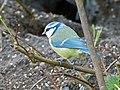 Blue Tit (6994115697).jpg