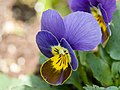 Blue pansy flower.jpg