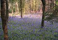 Bluebells in College Wood, near Nash - geograph.org.uk - 290221.jpg