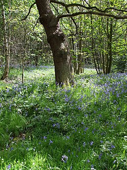 Bluebells in Deffer Wood - geograph.org.uk - 1295298