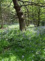 Bluebells in Deffer Wood - geograph.org.uk - 1295298.jpg