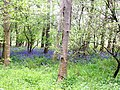 Bluebells in wood at Whitelee - geograph.org.uk - 801025.jpg