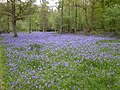 Bluebells near Bix, Oxfordshire - geograph.org.uk - 67418.jpg