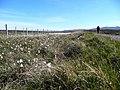 Bog cotton by the Sandwood track - geograph.org.uk - 827772.jpg