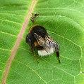 Bombus terrestris - Flickr - gailhampshire (6).jpg