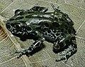 Bonn zoological bulletin - Kassina senegalensis.jpg