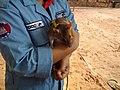 Bosco the rat at APOPO.jpg