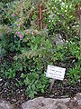 Botanical Garden of Mount ScopusDSCN4679.JPG