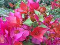 Bougainvillea glabra of Bangladesh 03.jpg
